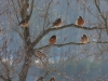 Robins - a sign of spring - by Sue Buruchian 2014-01-28